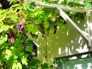 Spaljékonsoler som går ton i ton med fasaden har placerats ovanför en altandörr för att ge skugga och grönska. Vinrankan trivs bra och sprider sig villigt längs de sex ståltrådarna som löper mellan konsolerna.